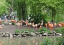 Les flamands roses vous accueillent au zoo de Beauval