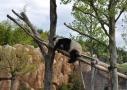 Panda endormi - ZooParc de Beauval