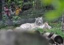 Magnifique tigre blanc au ZooParc de Beauval