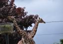 Girafes au ZooParc de Beauval