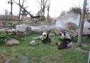 Le repas des pandas géants du ZooParc de Beauval